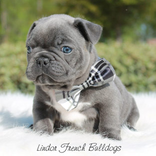 Example of a lilac French Bulldog puppy wearing a bowtie from Lindor French Bulldgos