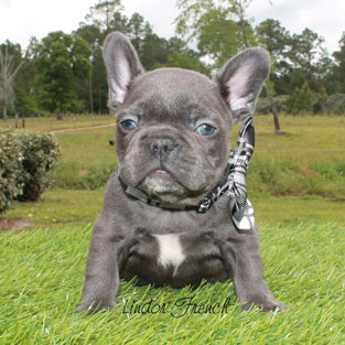 Example of Frenchies for sale from Lindor French Bulldogs