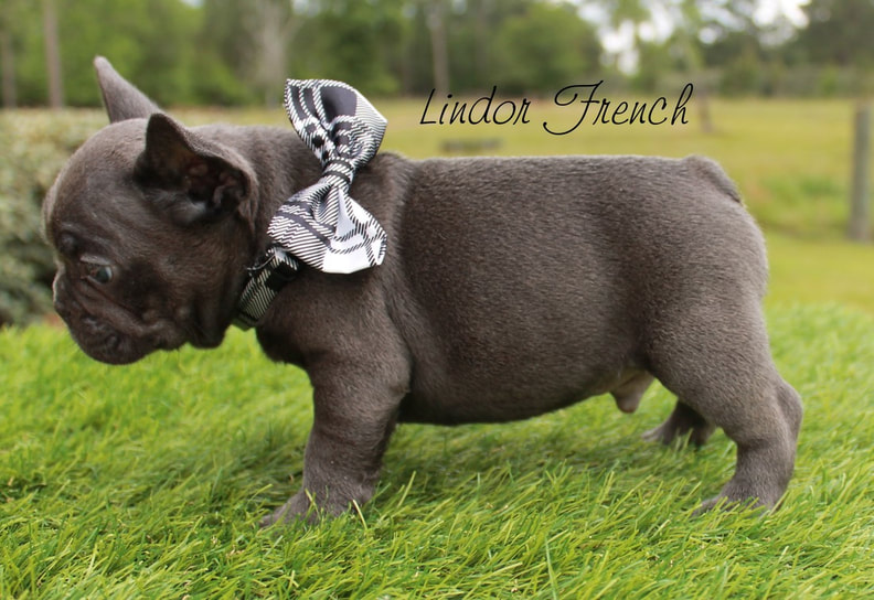 Example of lilac Frenchies for sale from Lindor French Bulldogs