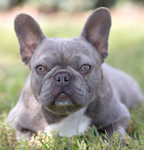 Kylie is an adult female lilac Frenchie from Lindor French Bulldogs