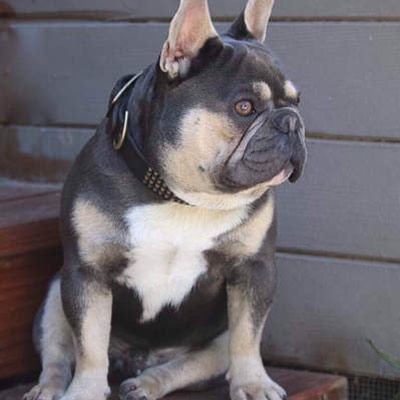 A blue and tan adult male French bulldog used for breeding by Lindor French Bulldogs