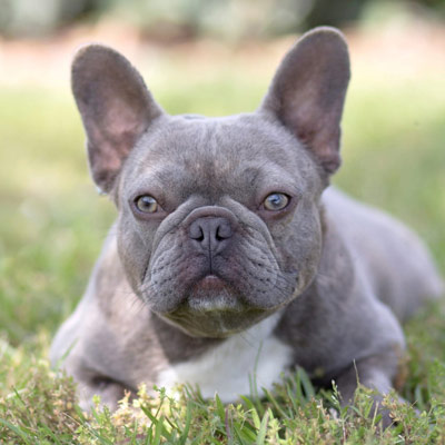 Kylie, a lilac brindle adult female French bulldog used for breeding by Lindor French Bulldogs