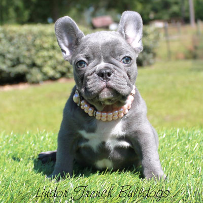 Example of a lilac female French Bulldog puppy wearing pearls being sold by Lindor French Bulldogs