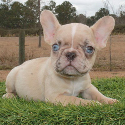 A merle French Bulldog puppy available for sale through Lindor French Bulldogs
