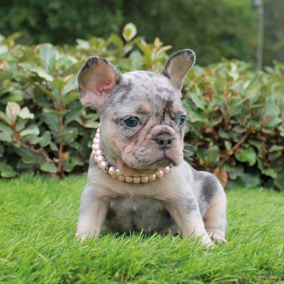 Merle French Bulldog Lindor French Bulldogs