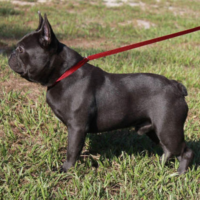 A solid blue adult male French bulldog used for breeding by Lindor French Bulldogs