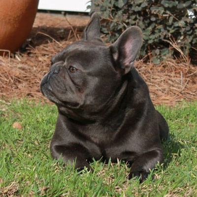 Walt, a solid blue adult male French bulldog used for breeding by Lindor French Bulldogs