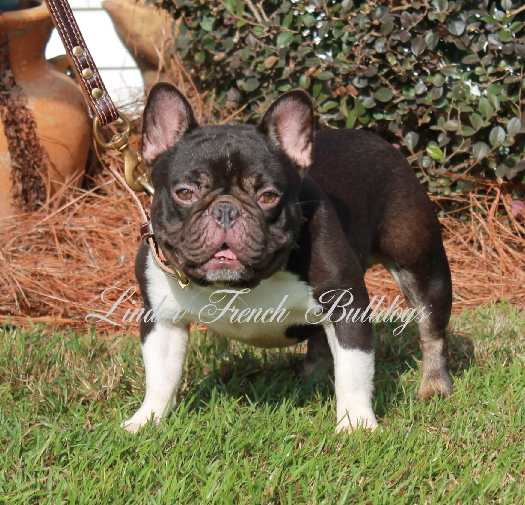 A chocolate and tan adult male French bulldog used for breeding by Lindor French Bulldogs